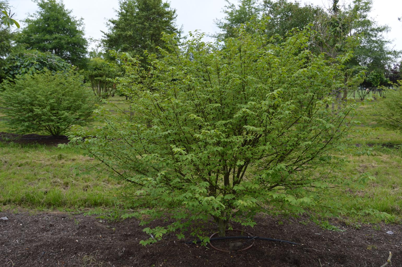 Euonymus alatus multi-stem shrub (2)