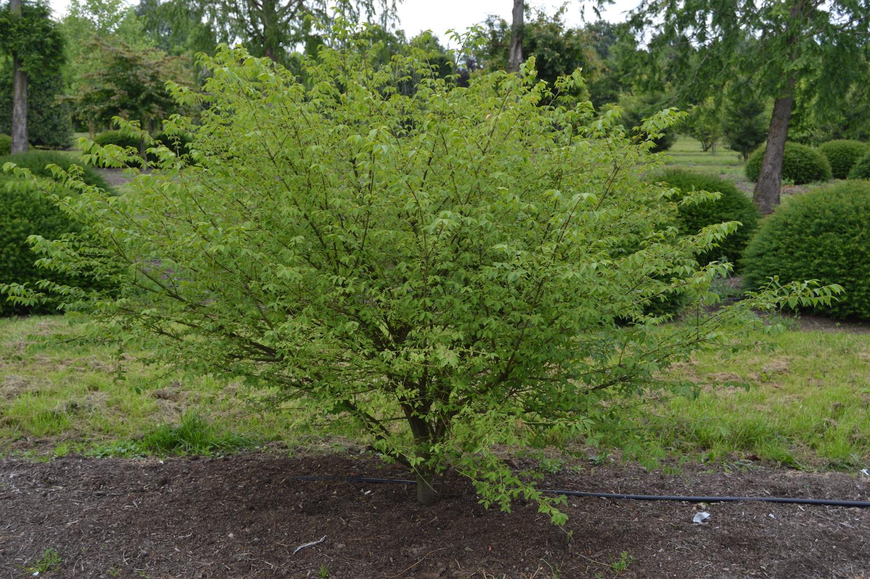 Euonymus alatus multi-stem shrub (3)