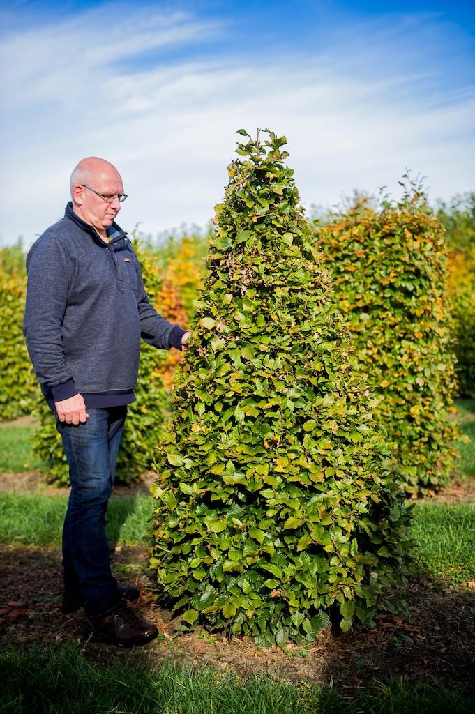 Fagus slvatica topiary green Beech cone