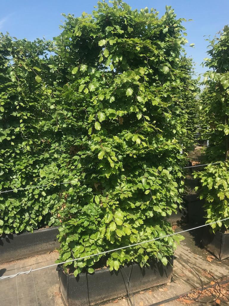 Fagus sylvatica 200cm x 100cm x 30cm instant hedge plants