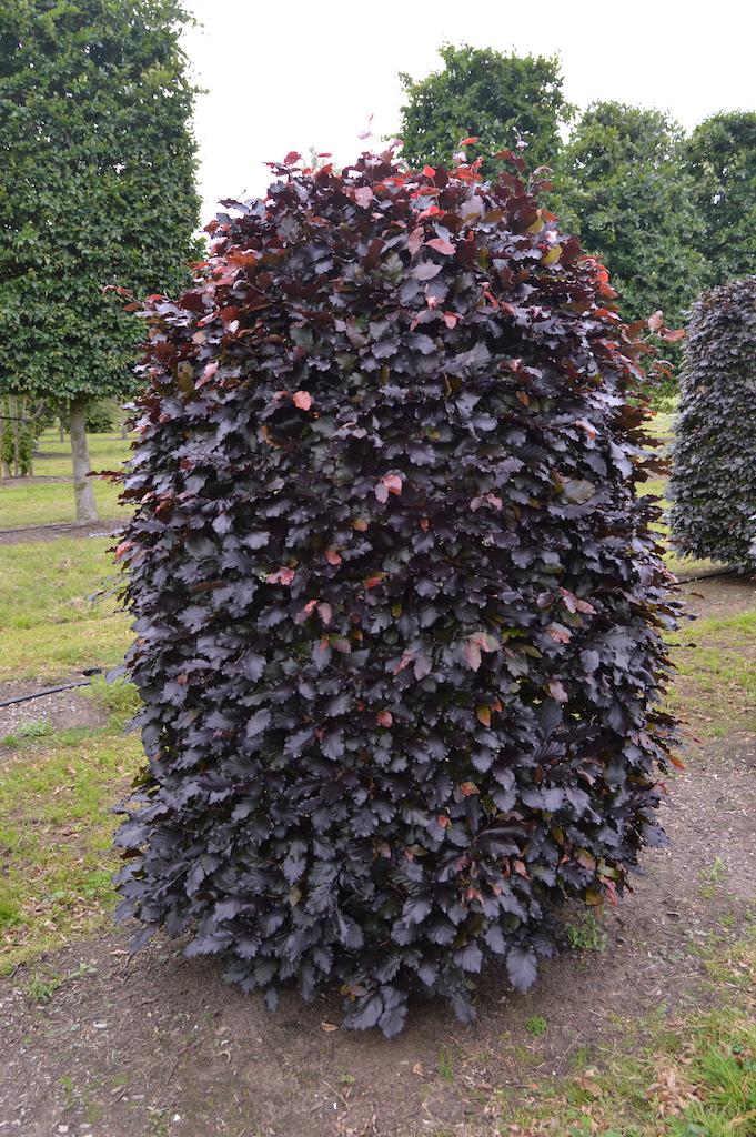 Fagus sylvatica 'Atropurpurea' (Copper Beech) beehive topiary shape