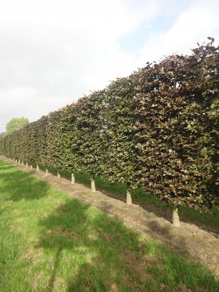 Fagus sylvatica 'Atropurpurea' (Copper Beech) low pleached screens 20-25 grade