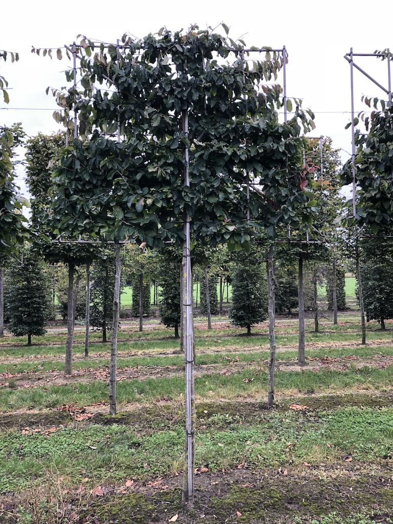 Fagus sylvatica 'Atropurpurea' (Copper Beech) pleached screen tree