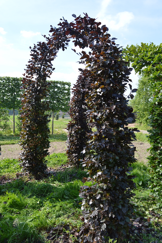 Fagus sylvatica 'Atropurpurea' (Copper Beech) topiary arch