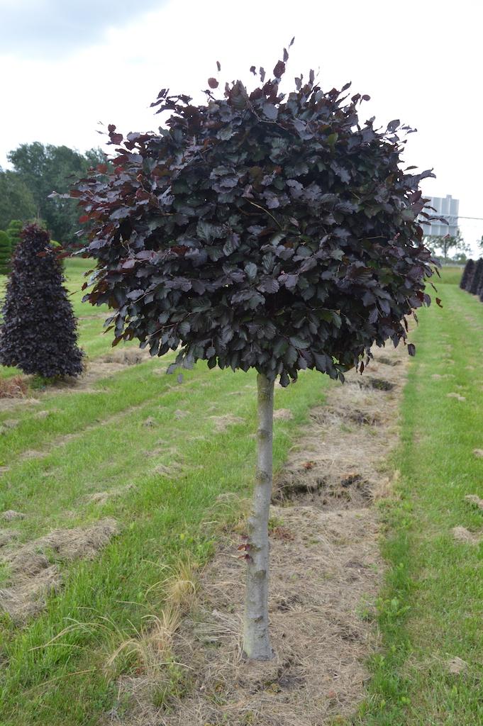 Fagus sylvatica 'Atropurpurea' (Copper Beech) topiary ball on stem