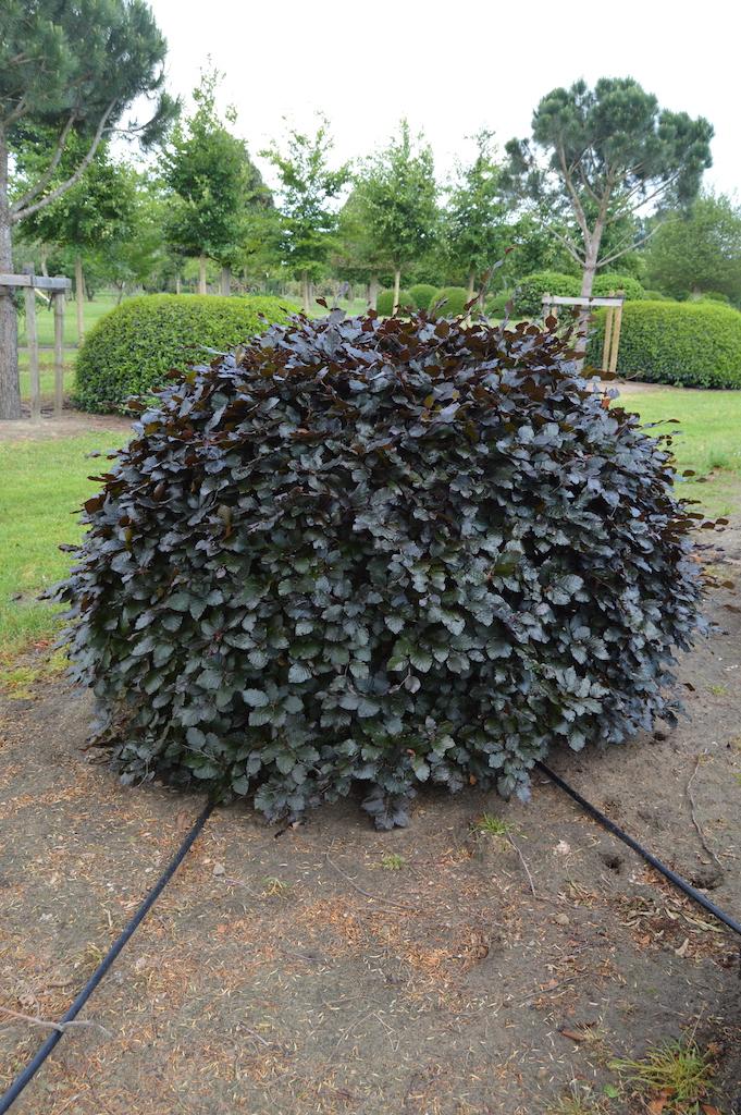 Fagus sylvatica 'Atropurpurea' (Copper Beech) topiary ball