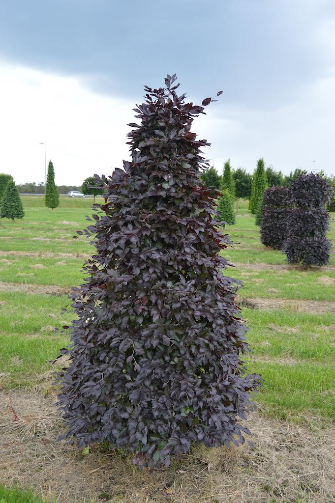 Fagus sylvatica 'Atropurpurea' (Copper Beech) topiary cone