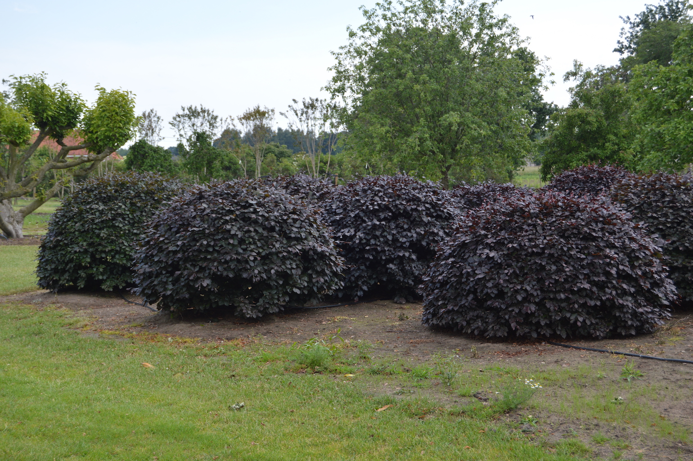 Fagus sylvatica 'Atropurpurea' (Copper Beech) topiary domes (1)