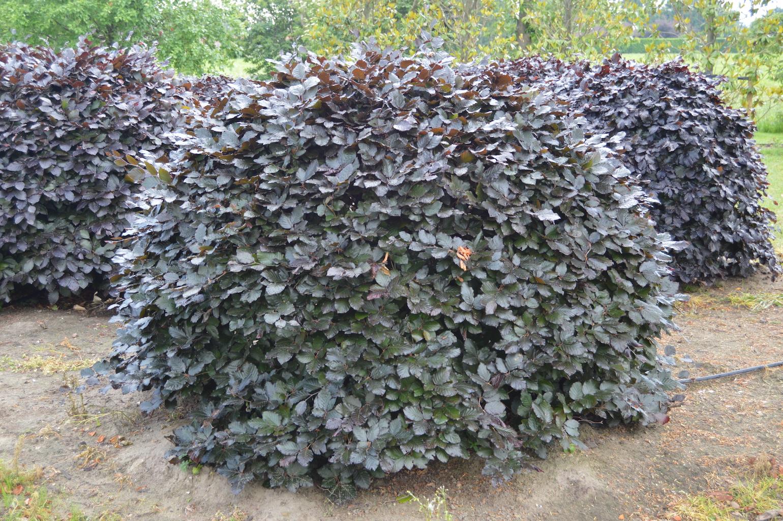 Fagus sylvatica 'Atropurpurea' (Copper Beech) topiary domes (2)