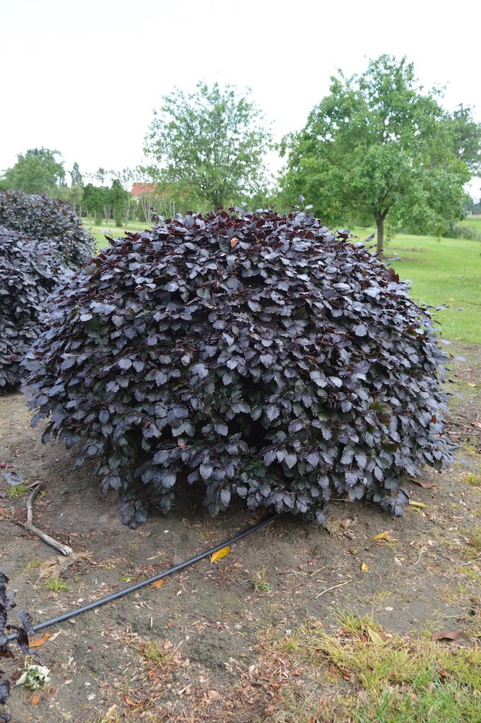 Fagus sylvatica 'Atropurpurea' (Copper Beech) topiary domes (3)