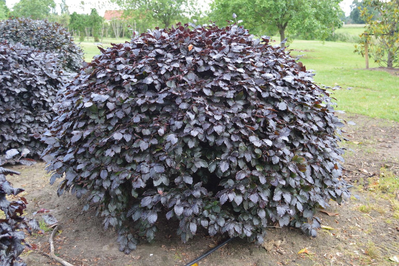 Fagus sylvatica 'Atropurpurea' (Copper Beech) topiary domes (4)