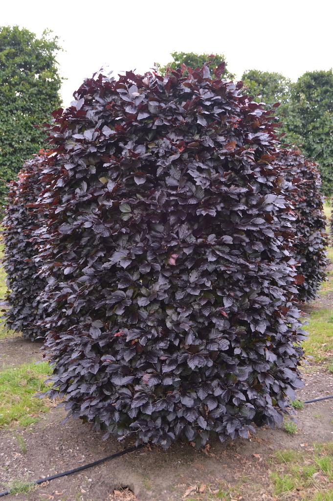 Fagus sylvatica 'Atropurpurea' beehive shape