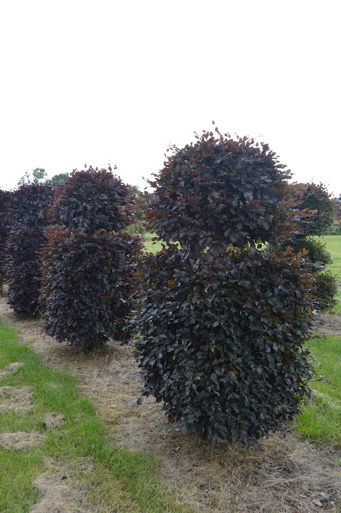 Fagus sylvatica 'Atropurpurea' bespoke Copper Beech topiary plant (14)
