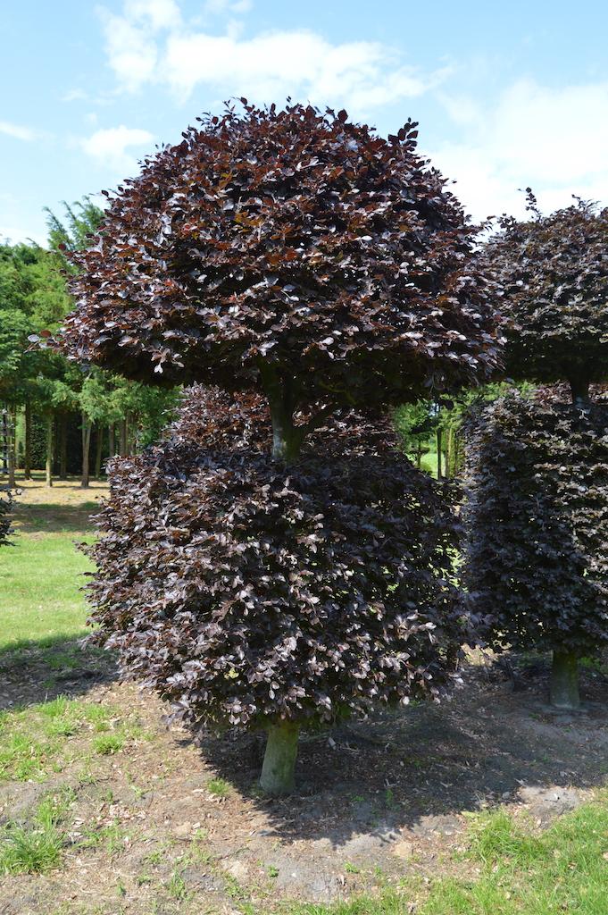 Fagus sylvatica 'Atropurpurea' bespoke Copper Beech topiary plant (6)