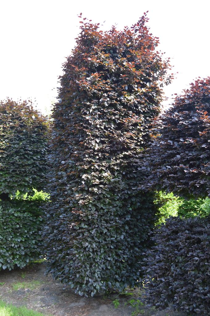 Fagus sylvatica 'Atropurpurea' bespoke Copper Beech topiary plant (8)