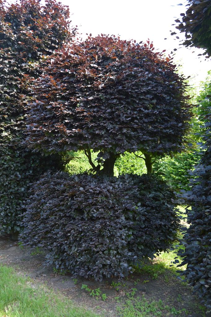 Fagus sylvatica 'Atropurpurea' bespoke Copper Beech topiary plant (9)