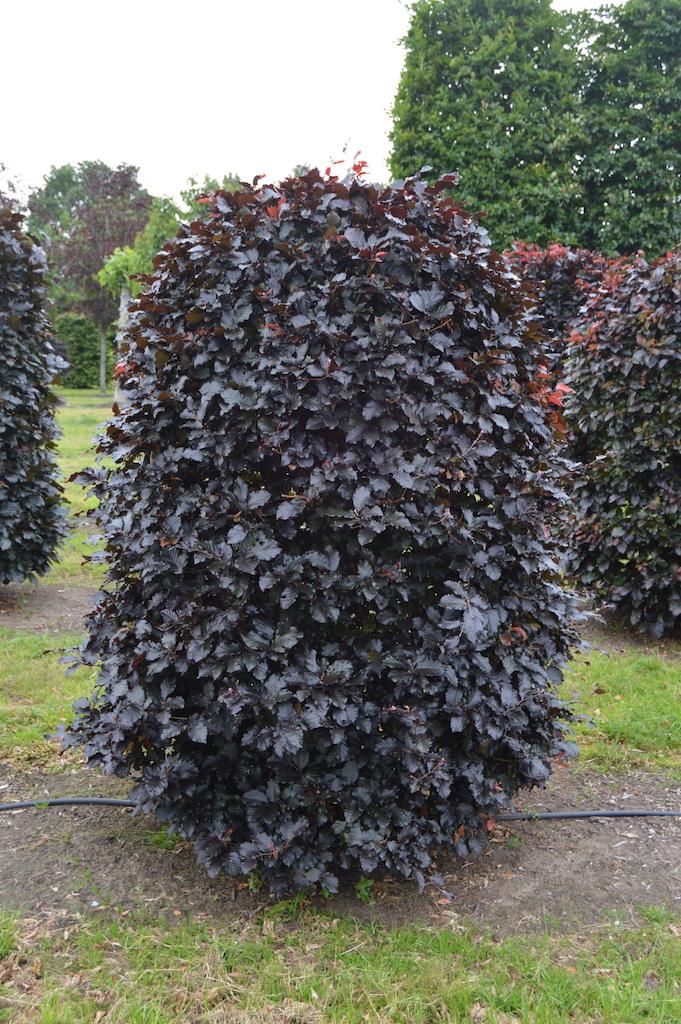 Fagus sylvatica 'Atropurpurea' bespoke topiary plant (20)