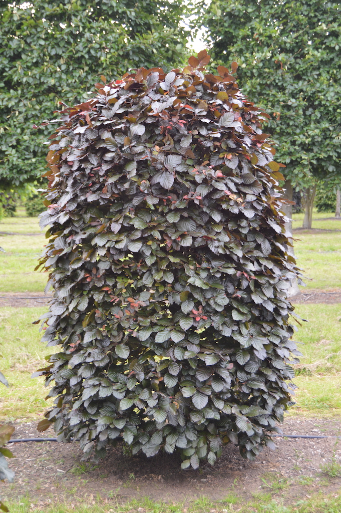 Fagus sylvatica 'Atropurpurea' bespoke topiary plant (22)