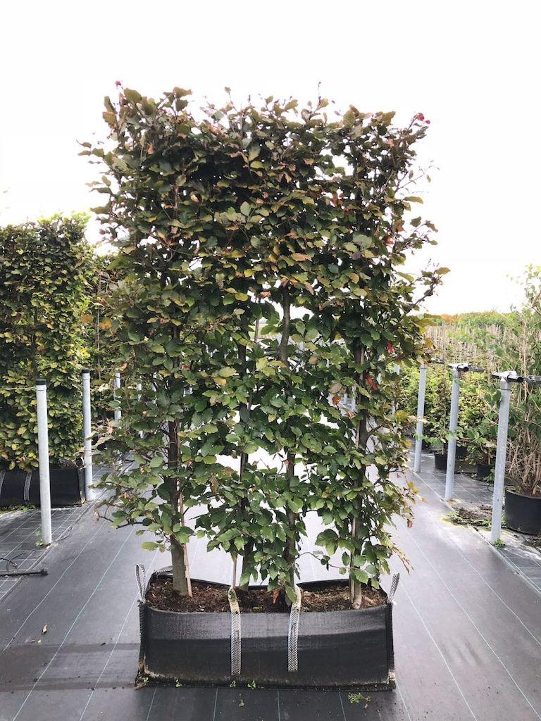Fagus sylvatica Atropurpurea hedge element 200cm (h) x 100cm (w) x 30cm (d)