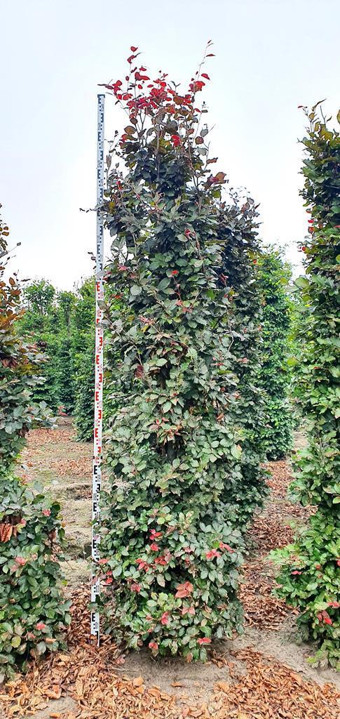 Fagus sylvatica 'Atropurpurea' hedge plants 275-300cm