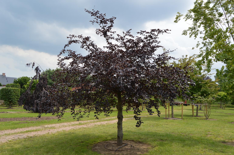 Fagus sylvatica 'Atropurpurea' specimen tree