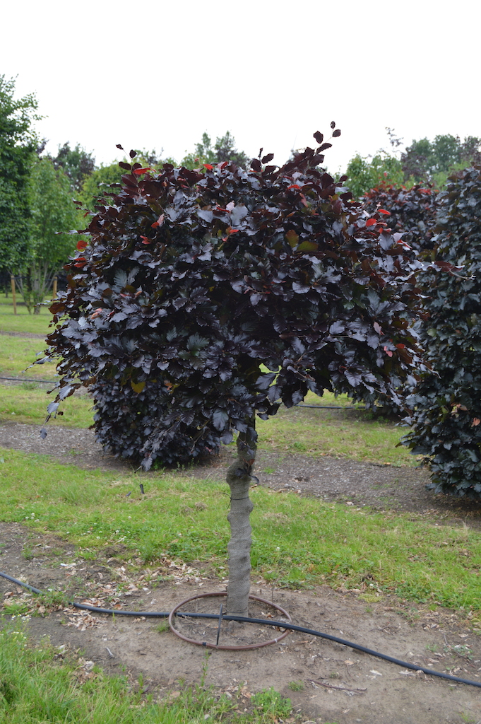 Fagus sylvatica 'Atropurpurea' topiary ball on stem plant