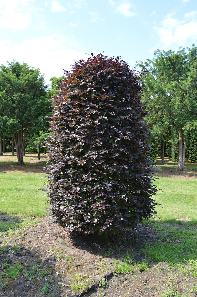 Fagus sylvatica 'Atropurpurea' topiary beehive plant (1)