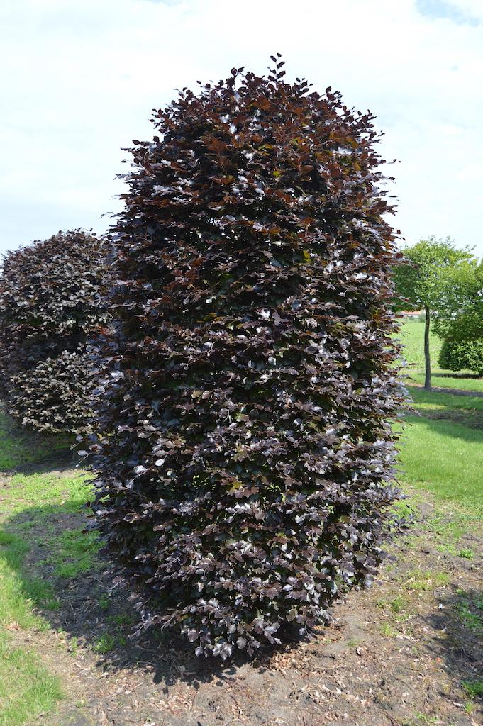 Fagus sylvatica 'Atropurpurea' topiary beehive plant (3)