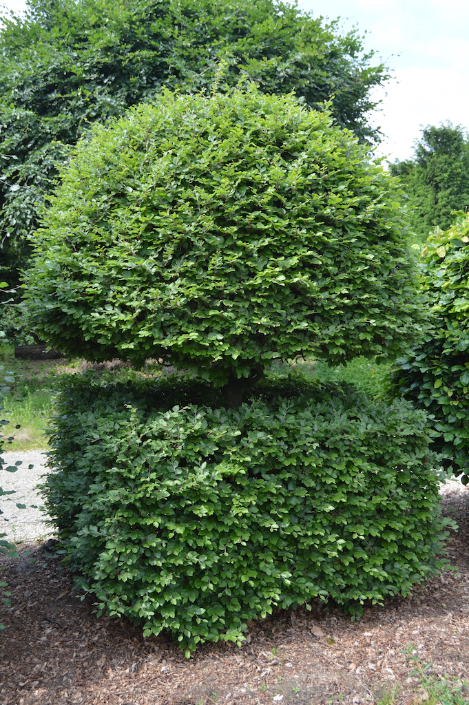 Fagus sylvatica (Beech) bespoke topiary plant (10)