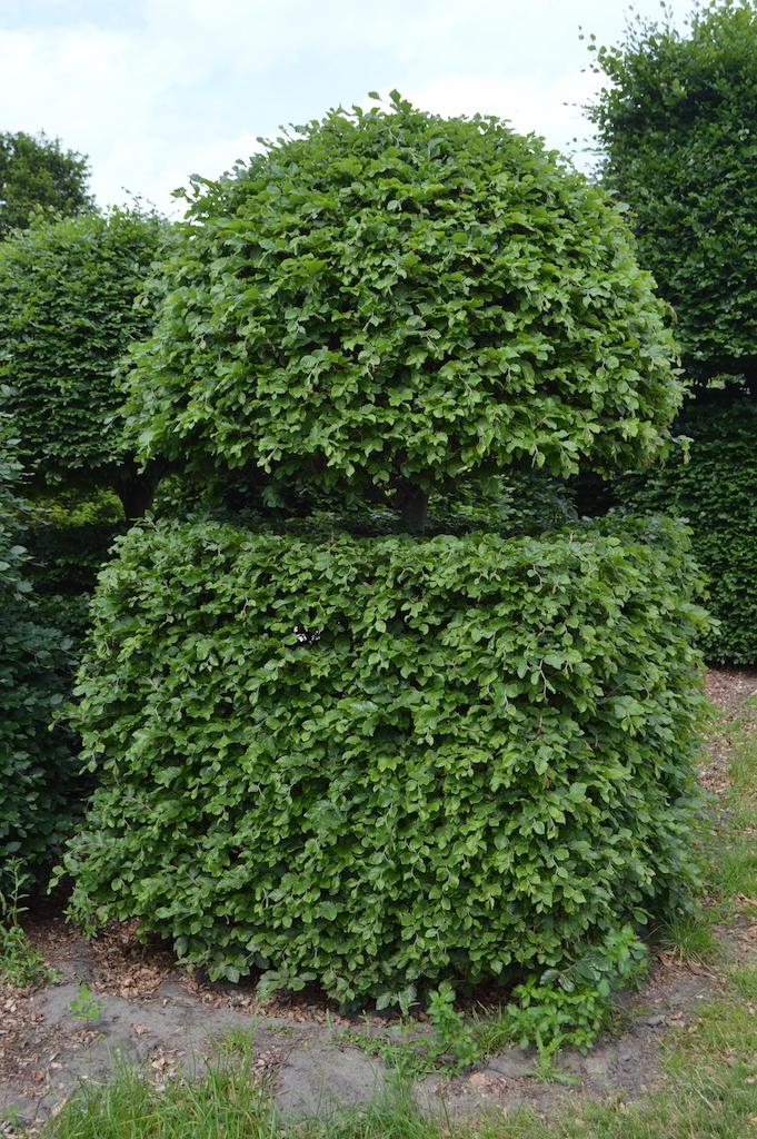 Fagus sylvatica (Beech) bespoke topiary plant (11)