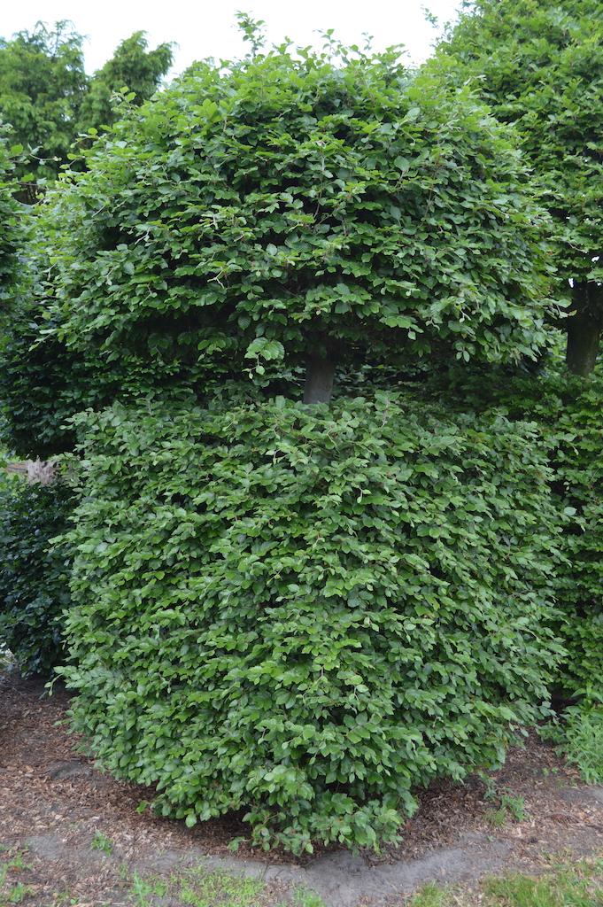 Fagus sylvatica (Beech) bespoke topiary plant (12)