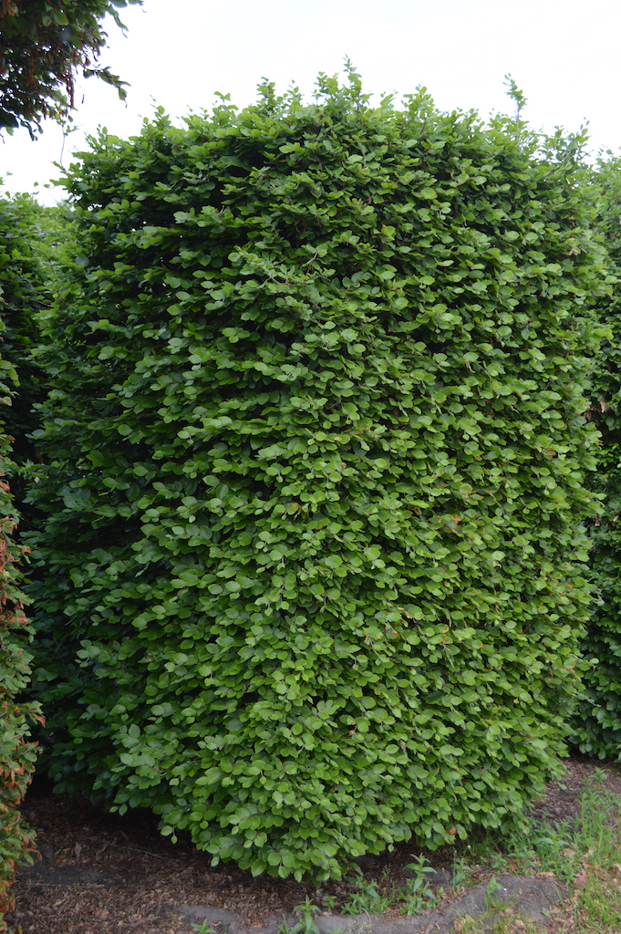 Fagus sylvatica (Beech) bespoke topiary plant (13)