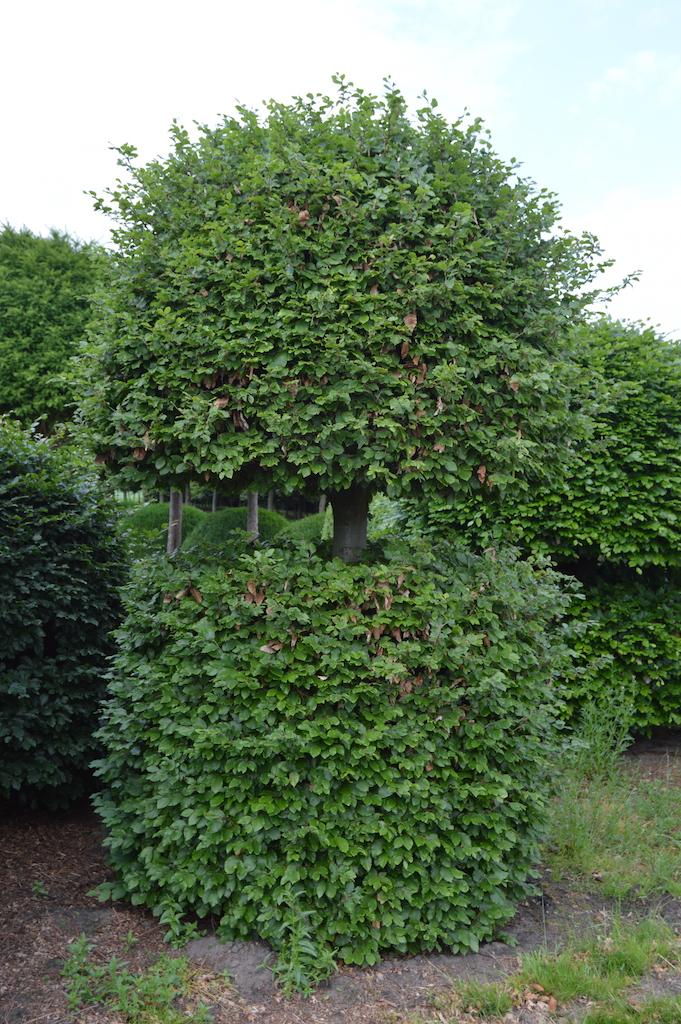 Fagus sylvatica (Beech) bespoke topiary plant (14)