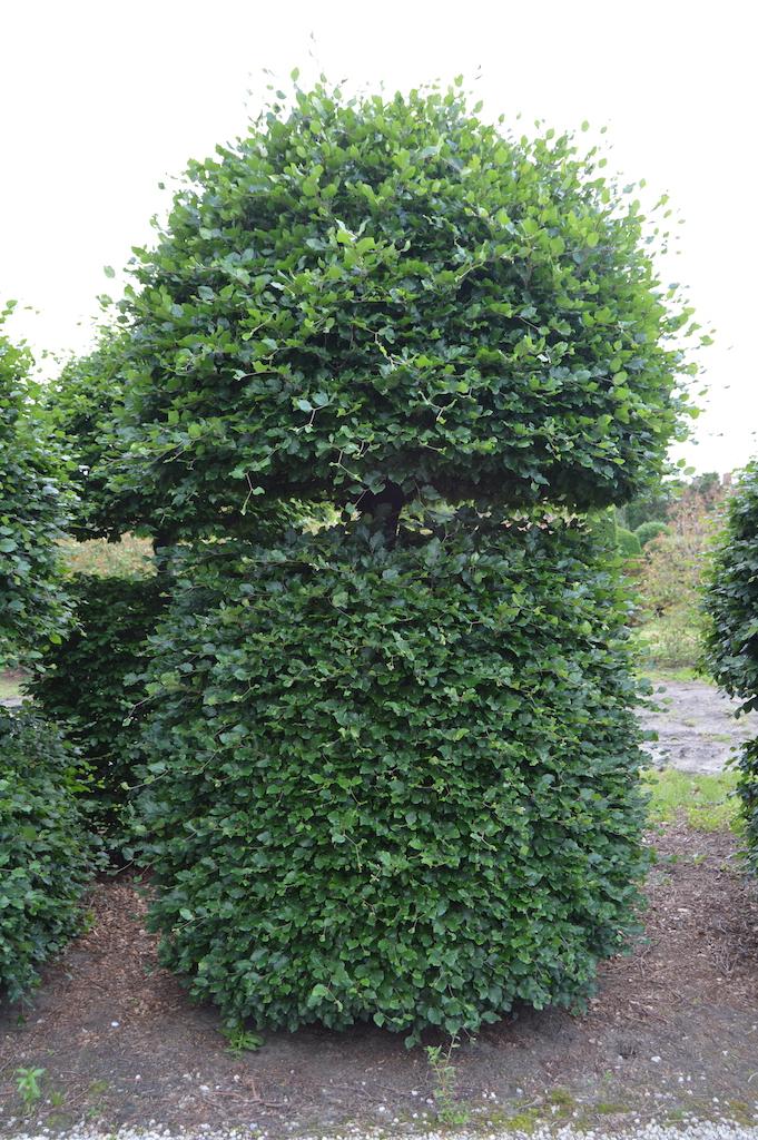 Fagus sylvatica (Beech) bespoke topiary plant (17)