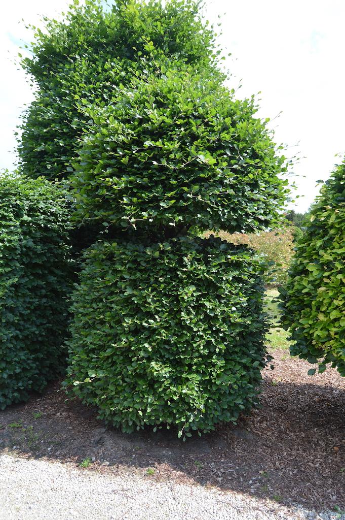 Fagus sylvatica (Beech) bespoke topiary plant (18)