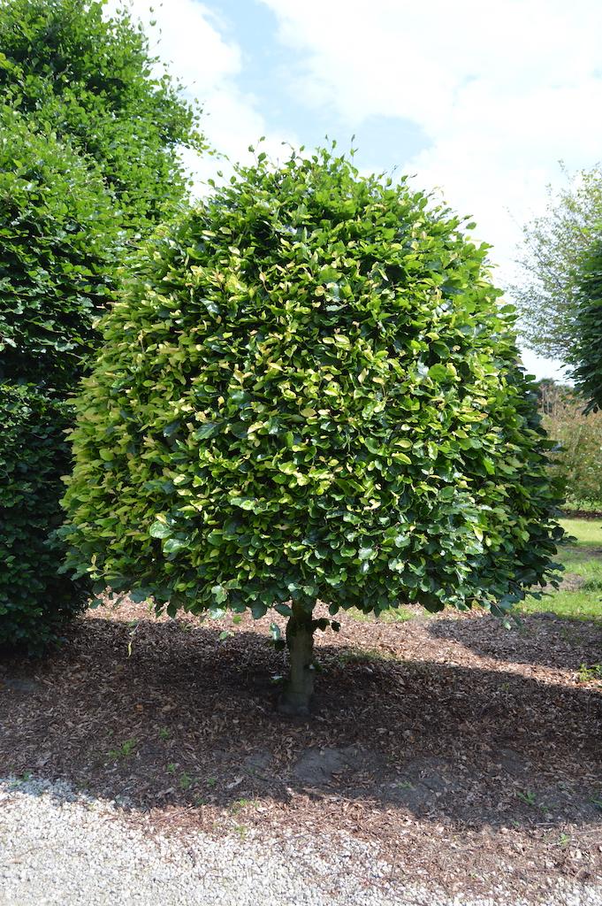 Fagus sylvatica (Beech) bespoke topiary plant (19)