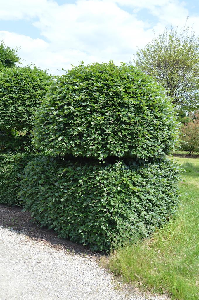 Fagus sylvatica (Beech) bespoke topiary plant (20)