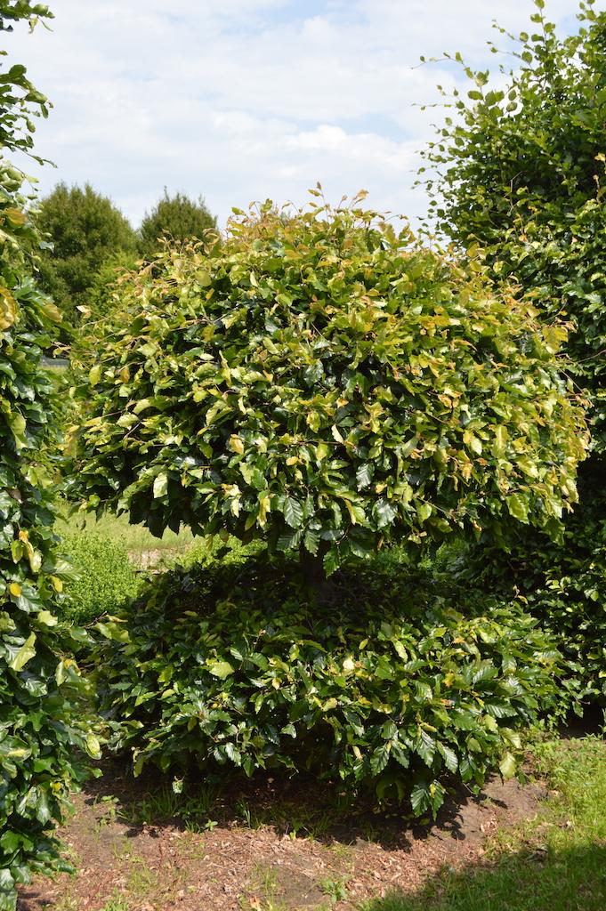 Fagus sylvatica (Beech) bespoke topiary plant (23)