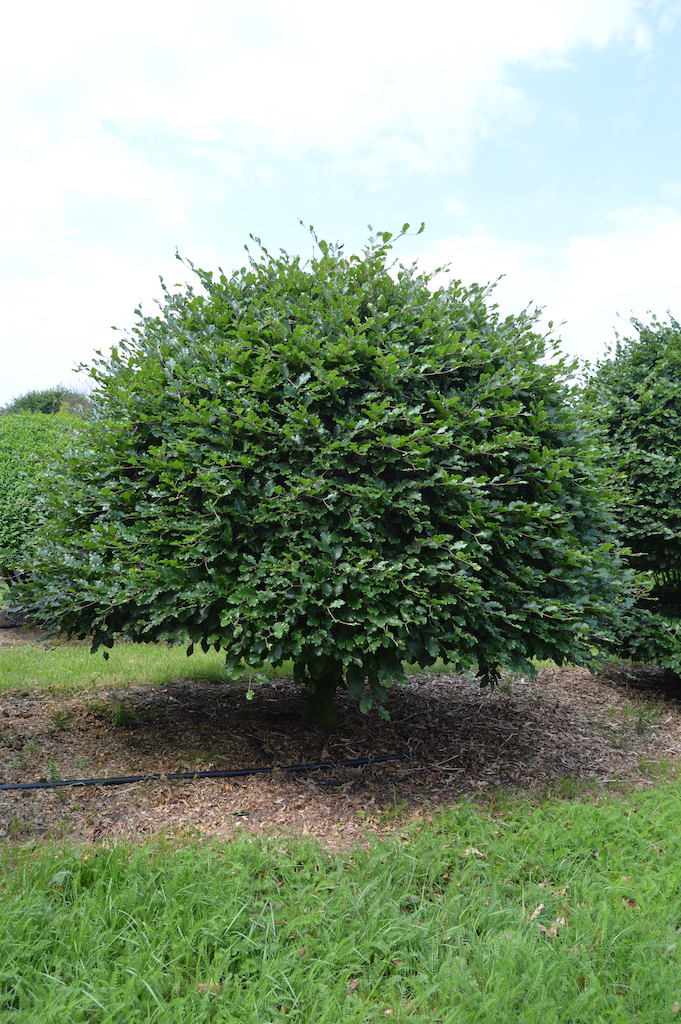 Fagus sylvatica (Beech) bespoke topiary plant (6)