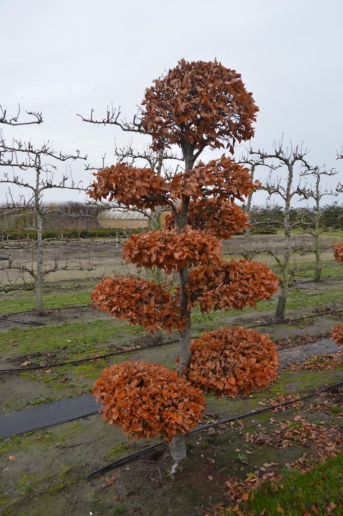 Fagus sylvatica (Beech) cloud pruned tree 200-250cm (1)