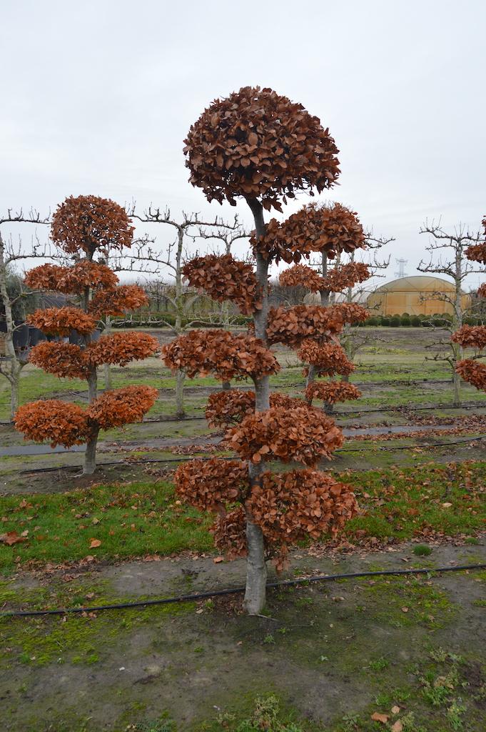 Fagus sylvatica (Beech) cloud pruned tree 200-250cm (2)