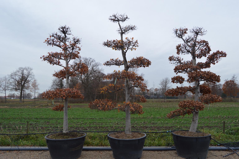Fagus sylvatica (Beech) cloud pruned trees 300-350cm