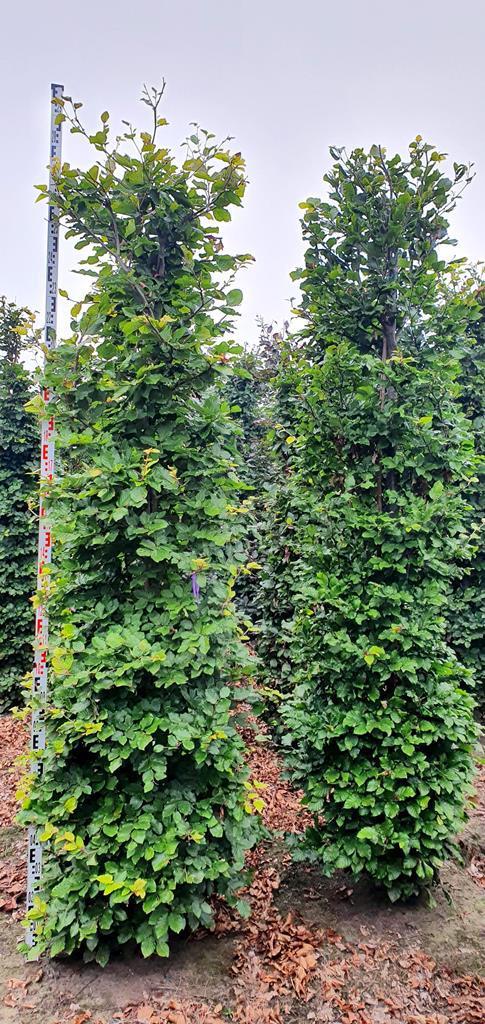 Fagus sylvatica (Beech( hedge plants 275-300cm