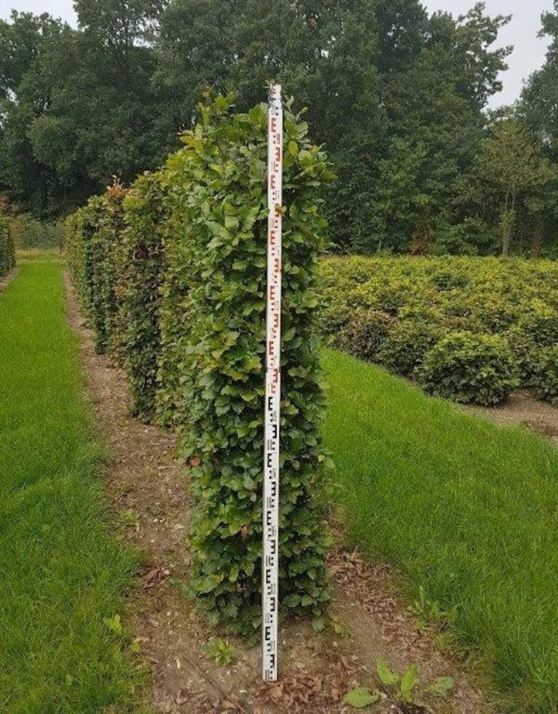 Fagus sylvatica (Beech) instant hedge plants 200cm x 50cm 50cm