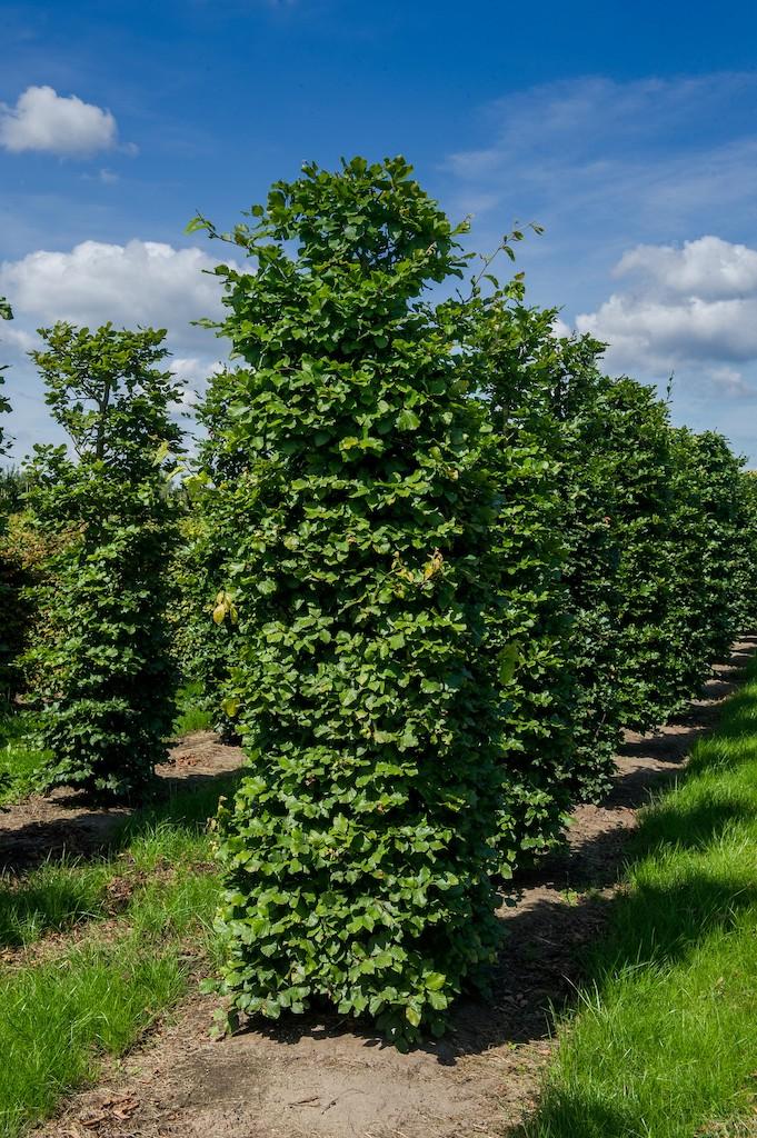 Fagus sylvatica (Beech) instant hedge plants