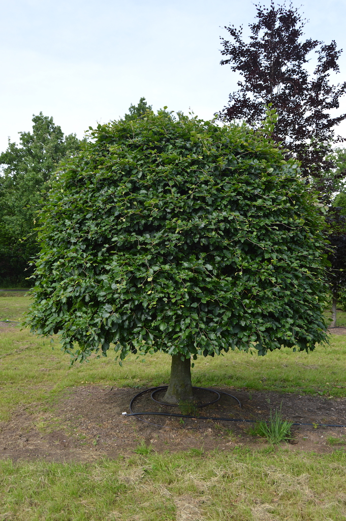 Fagus sylvatica (Beech) large specimen (1)