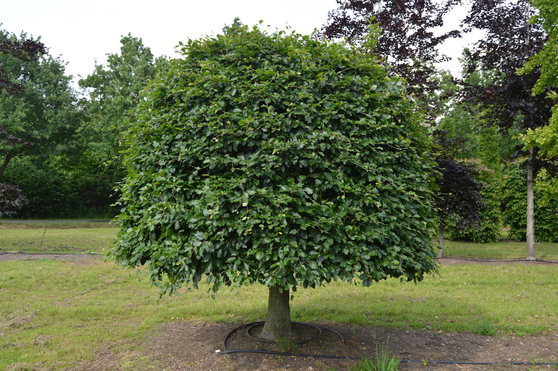 Fagus sylvatica (Beech) large specimen (2)