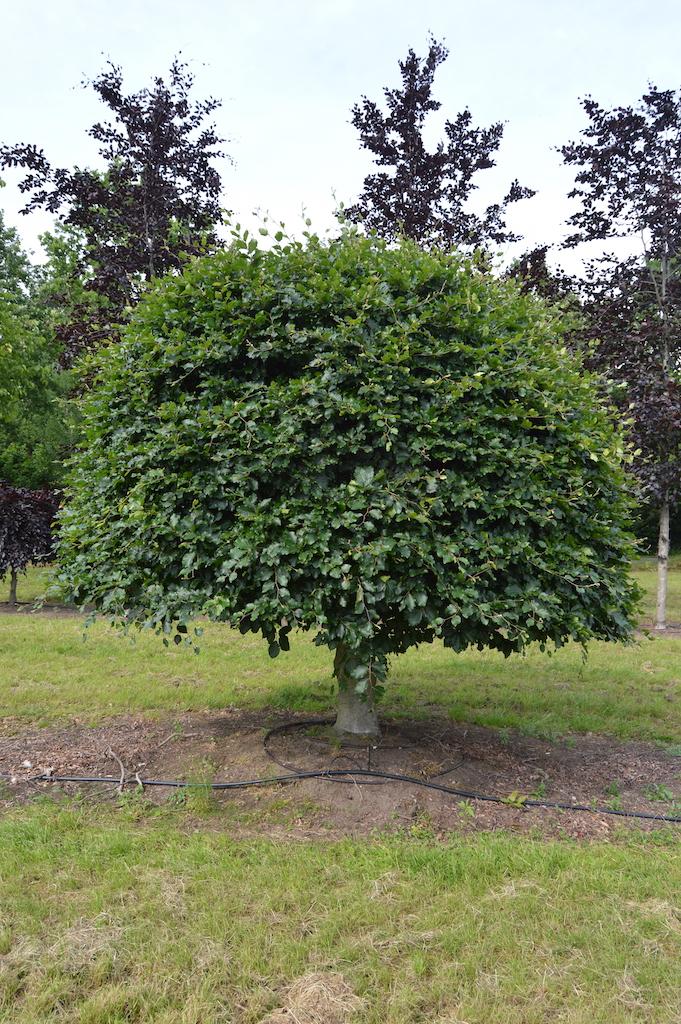 Fagus sylvatica (Beech) large specimen (3)