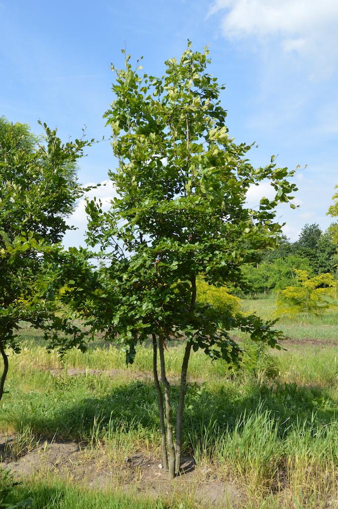 Fagus sylvatica (Beech) multi-stem tree