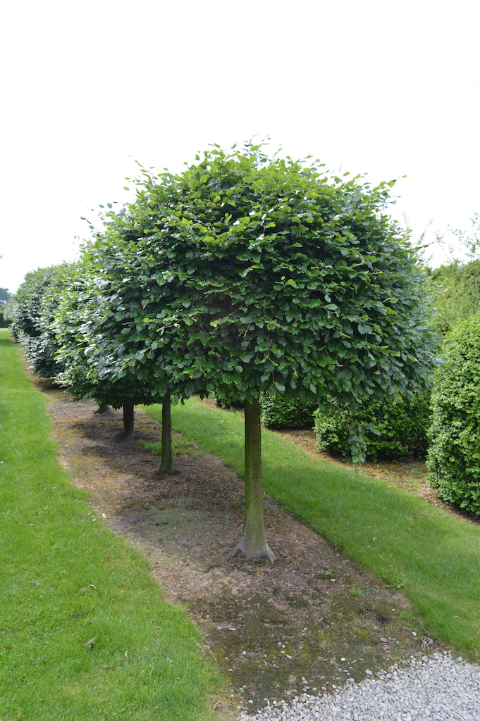 Fagus sylvatica (Beech) standard with extra large ball